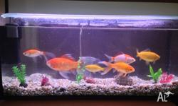 I am selling 6 goldfish with Aquarium. The fish are in