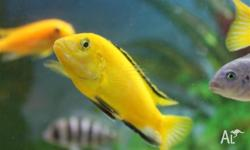 Following fish for sale: Metriaclima Greshakei - Red