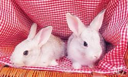 Spring born baby Flemish giant rabbits up for sale to