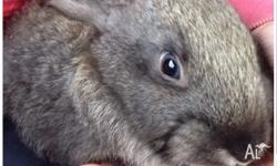 Last bunny!! 8 week old flemish giant bunny Ready for
