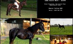 Flicka is 12hh black pony mare. She has great potential
