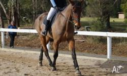For firm 12month Lease/or Sale: Bro is a 17.1hh, bay,