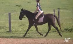 Rosie is a beautiful Standardbred mare. 15.1 h. Black