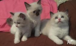Purebred Ragdoll kittens $450.00 Kittens will be