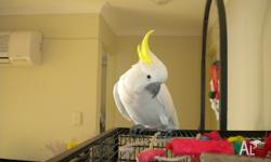 She is a gorgeous female Sulphur Crested Cockatoo,