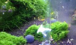 Yellow cherry shrimp for sale 0.8cm 10 for $75 Located