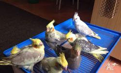 I have four handraised cockatiel babies Age: 10 weeks