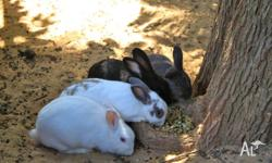 Give away to good home. Four cute bunnies, 1 x male