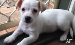 Little girl puppy for sale, she has been microchipped,
