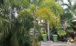 Large Ex-ground 3 metre Foxtail Palm. Ideal for