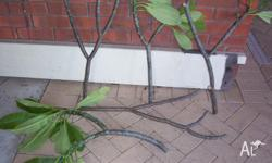 Frangipani cuttings, ready to pot up from $2.00 each.