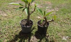 I have for sale 2 FRANGIPANI PLANTS for the price of