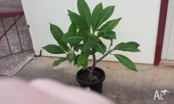 Frangipani Plants in a Pot - White - Approx. 1 to 2