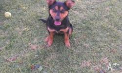 I have a male kelpie X 4months old. Needs a new home as