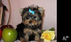 T-Cup Yorkie now available , potty trained , pedigree