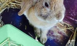 Brown male lop-ear rabbit. We have too many rabbits to