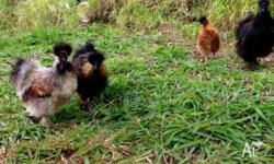 Free Coloured Pure Bred Silkie Roosters ..we have one