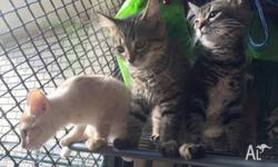 3 Young Cats FREE to a Good Home. Must be picked up