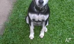 Free to good home Female black and white Husky x staffy