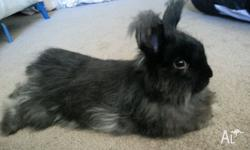 I have a beautiful 2 year old male French Angora Bunny