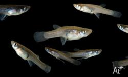 Freshwater Feeder Fish 50 for $20 100 for $30 200 -