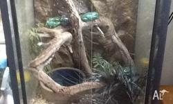 Complete frog set up with 2 green tree frogs Frogs are