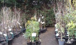 Fruit Trees Apricots Peach Nashi available in 250mm