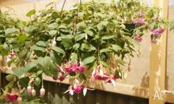Various Fuchsias in hanging baskets Price varies from
