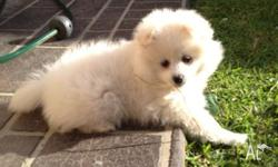Full breed Pomeranian Girl 3 months old Vaccinated