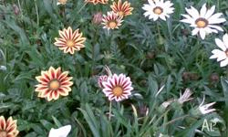 Gazanias Hardy ground cover available in 10cm pots