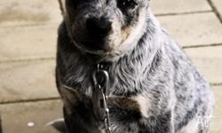A genuine male blue healer cattle dog. Has been called