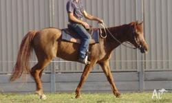 """Mouse"" is an apprx 15.1-2hh 25yo? yo chestnut quarter"