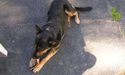 German Shepherd Cross Kelpie - Shadow. Regretful sale.