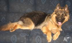Max is a DESEXED Male LSC German Shepherd Dog. He is 21