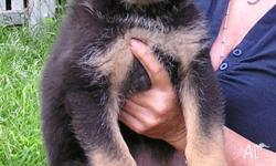 Purebred German Shepherd puppies Veiw both parents