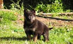 German shepherd pruebred puppies Fully imported German