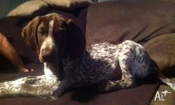 Hi, I have a german short haired pointer for sale. He