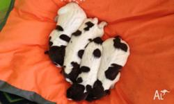 For Sale. Purebreed German Shorthaired Pointer Puppies.