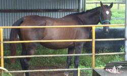 Mare, 9 years old bay,16hh thbred. Could not wish for a