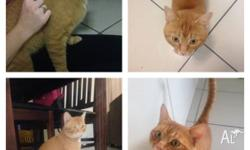 2 year old Ginger male cat available for adoption. He