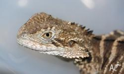 Male Gippsland Water Dragon Sub adult Eats anything you