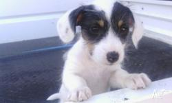 MINI FOXY X JACK RUSSELL Due to family circumstances we
