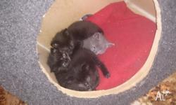 Two black, one gray and one black and ginger kitten. We