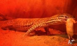 Thinking of selling my goanna � sand monitor Age: 2