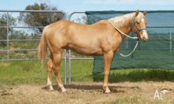 Cajun Rubies N Gold Q-76098- (Clay) 2 year old Gold