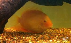 Check out this beautiful Gold Severum, about 13cm long