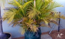 Stunning golden cane palm in 100L pot read to be