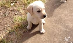 We have 10 golden Labrador puppies for sale, 6 male and