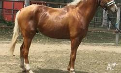 Dark golden Quarter Horse X Palomino gelding 16 hands,