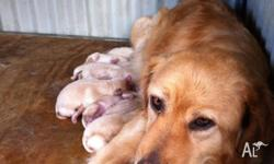 labrador puppies for sale in South Australia Classifieds & Buy and